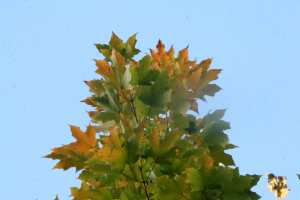 sugar maple in our front yard